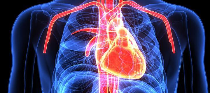 3D image of internal organs inc.heart